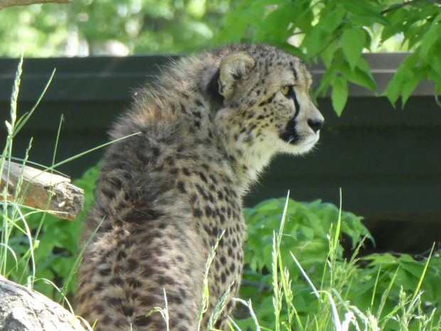 Omaha Zoo Cheetah